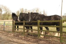 Free Black Shire Horses Royalty Free Stock Photo - 13859555