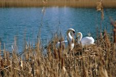 Swan Pair Royalty Free Stock Photos