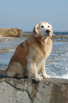 Portrait Of Golden Retriever Dog At The Sea Stock Images