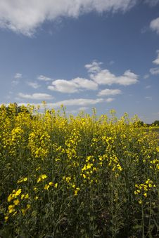 Free Yellow Oilseed Rape Stock Photography - 13860172