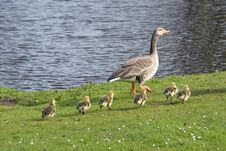 Free Goose With Baby Gosling Stock Photos - 13860393