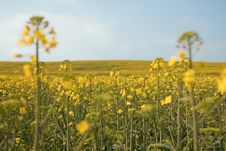 Free Beautiful Field With Yellow Flowers. Royalty Free Stock Photography - 13860767