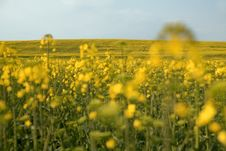 Free Beautiful Yellow Field. Royalty Free Stock Photos - 13860848