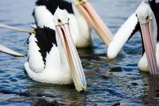 Free Pelicans Gathered Together In A Pond Royalty Free Stock Photography - 13860937
