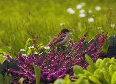 Free Sparrow In The Green Grass Stock Image - 13861681