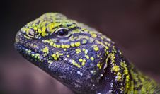 Free Agama Royalty Free Stock Images - 13862269