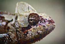 Free Chameleon Giant Stock Images - 13862284