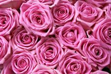 Free Pink Roses Royalty Free Stock Images - 13863179