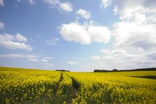 Free Yellow Oilseed Rape Royalty Free Stock Images - 13863289