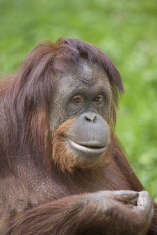 Free Orangutan Stock Photography - 13863442