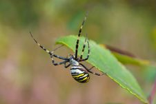 Free Black And Yellow Garden Spider Royalty Free Stock Images - 13863789