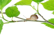 Leaves And Snail Stock Photo