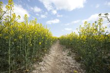 Free Yellow Oilseed Rape Royalty Free Stock Images - 13864949