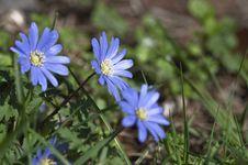 Blue Anemone Stock Image