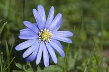 Free Blue Anemone Stock Images - 13865024