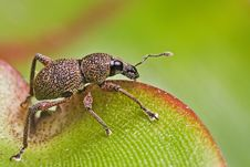 Free Weevil Royalty Free Stock Photos - 13865458