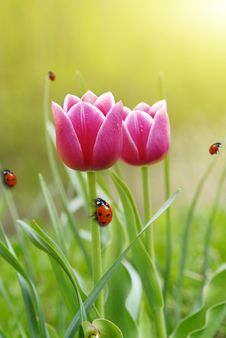 Free Red Tulips Stock Images - 13865914