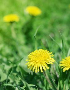 Dandelions Afield Royalty Free Stock Photography