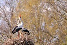 White Stork Couple Nesting Stock Photography