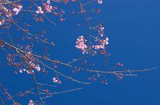 Thai Sakura On Deep Blue Sky Stock Photos