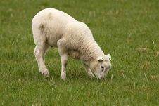 Free Little Lamb Eating Grass Royalty Free Stock Images - 13867269