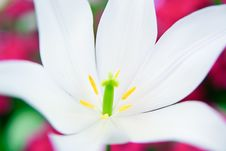 Free Close-up Of A White Lily Royalty Free Stock Photography - 13867437