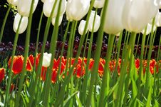 Flowerbeds Of Multicolored Tulips Stock Photos