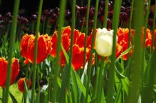 Flowerbeds Of Multicolored Tulips Stock Image