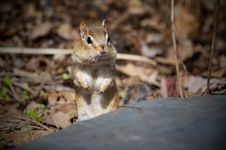 Free Chipmunk Royalty Free Stock Photography - 13868897
