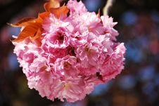Free Cherry Blossom Royalty Free Stock Photography - 13868967