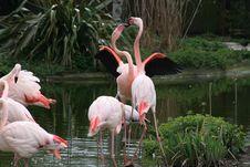 Free Flamingos Fighting Royalty Free Stock Photo - 13869105