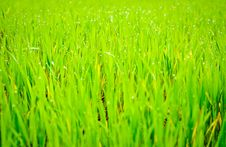 Free Wheat Royalty Free Stock Photos - 13869458