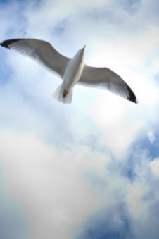 Free Seagull In Sky Royalty Free Stock Photography - 13869667