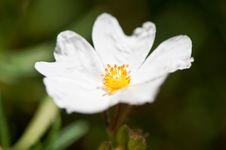 Free White Rose Royalty Free Stock Images - 13870049