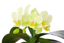 Free Orchid Royalty Free Stock Photo - 13870095
