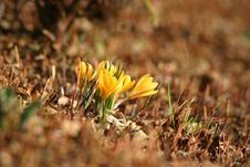 Free Crocus Stock Photos - 13871283