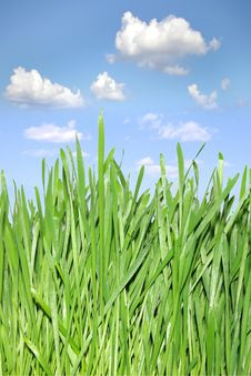 Green Grass The Background Of The Blue Sky. Royalty Free Stock Image