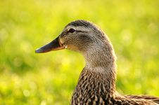 Free Duck 004 Royalty Free Stock Photos - 13872668