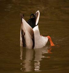 Bottom Feeding Duck Royalty Free Stock Images