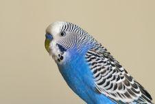 Free Flamboyant Parrot Melopsittacus Undulatus Royalty Free Stock Images - 13874889