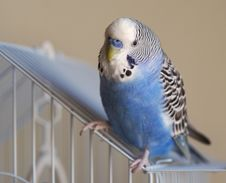 Free Flamboyant Parrot Melopsittacus Undulatus Stock Photos - 13874943