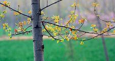 Free Poplar Tree In Spring Stock Image - 13875241