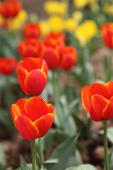 Free Tulips Field Close-up Royalty Free Stock Photo - 13875715