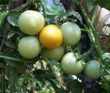 Free Tomato Stock Photos - 13875723