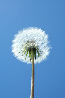 Free Dandelion Clock Stock Images - 13875764