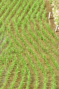 Free Rice Field Royalty Free Stock Photo - 13875845