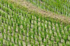 Free Rice Field Stock Image - 13875861