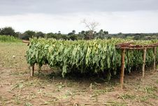 Free Tobacco Leafs Drying In A Farm, Cuba Royalty Free Stock Photos - 13876048