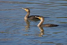 Cormorants Stock Image