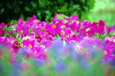 Free Unique Shot Of Petunias Stock Photography - 13877272